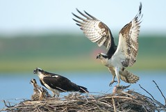Osprey (Mark Schwall) Tags: fish birds adult nest flight birdsinflight manualfocus raptors osprey birdsofprey fledglings forsythenwr edwinbforsythenwr avianexcellence