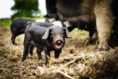 Happy Hog (Mad_m4tty) Tags: baby cute animal pig open farm sunday organic piglet hog farmyard swillington