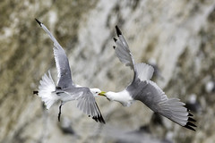 Kittiwakes at Bempton Cliffs (GHULAM RASOOL MUGHAL) Tags: uk nature birds canon photography wildlife conservation naturereserve migratory seabirds rspb bemptoncliffs