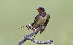 Swallow preening