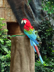 The multi-coloured parrot  (Scarlet Macaw) (Itsnotme!) Tags: blue red green bird yellow parrot redparrot redbluegreenparrot