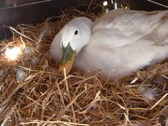 P1030583 (infiniti25@ymail.com) Tags: duckling ducks aylesbury brood babyducks babyduck whiteduck duckinwater tinyducks featherbabies