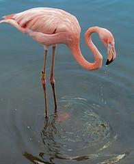 Flamingo (laufar1) Tags: pink birds animals canon digitalcamera supershot avianexcellence challengegroupwinner yorkshirewildlifepark