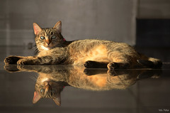 Misha y su reflejo (Hotu Matua) Tags: cat chat gato katzen