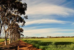 day in the field (Ian Riley [on the right side of the fence]) Tags: tree field barley clouds belt north australia sa southaustralia mid eucalypts mallala