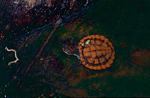 Northern Australian Snapping Turtle (Myuchelys latisternum) juvenile