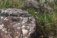 Mount Roraima Lizard