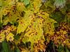 Purpuric leaves... (deanspic) Tags: leaves maple purple medicine mapleleaves musing purpura mottling medicalmatters g1x purpuric