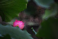 Lotus  (MelindaChan ^..^) Tags: pink light plant flower green water leaves leaf pond pod lotus bokeh mel melinda macau   paintinglike   chanmelmel melindachan