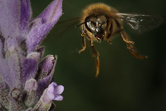 Bee Landing (fsismonda) Tags: abejas macro argentina buenosaires bees mardeplata d7100
