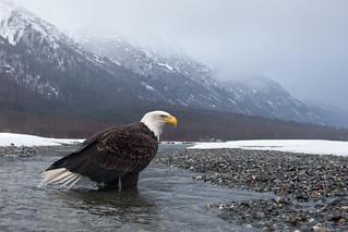 Bald Eagle Wide