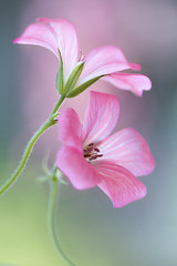 Cranesbill (Mandy Disher) Tags: pink summer flower alpine cranesbill pelargonium hardygeranium