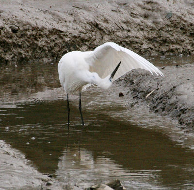 "Little Egret • <a style=""font-size:0.8em;"" href=""https://www.flickr.com/photos/30837261@N07/10723182573/"" target=""_blank"">View on Flickr</a>"