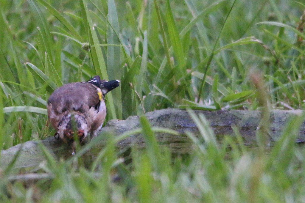 Male European Goldfinch - Caniço, Madeira, Portugal
