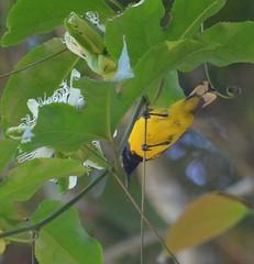 Olive-backed (Yellow-bellied) Sunbird (fydnar) Tags: olivebackedsunbird nectariniajugularis yellowbelliedsunbird