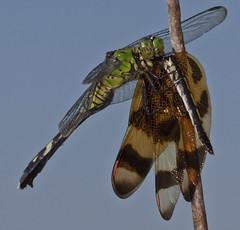 Eastern Pondhawk - Erthemis simpliciollis (crookrw) Tags: dragonfly loxahatchee easternpondhawk halloweenpennant celithemiseponina erthemissimpliciollis taxonomy:binomial=erthemissimpliciollis
