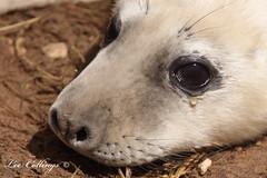 Crying Seal Pup :-( (Yorkshire Pics) Tags: sad wildlife crying lincolnshire seal cry britishwildlife puppyeyes sealpup northlincolnshire donnanook ukwildlife rafdonnanook donnanooknaturereserve donnanookbombingrange