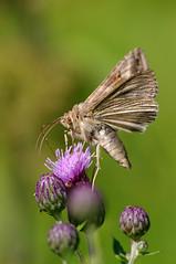Lina-tähtöölane. Autographa gamma. (Jaan Keinaste) Tags: fauna butterfly estonia pentax moth eesti k7 liblikas autographagamma ööliblikas pentaxk7 linatähtöölane