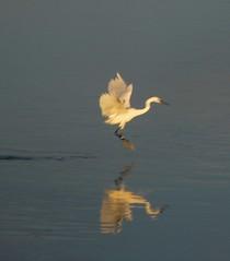 (celicom) Tags: costa naturaleza animal fauna mar agua aves ave animales reflexions vuelo amariña costalucense celicom