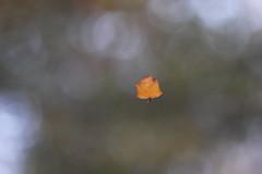 l(a (markkilner) Tags: england nature canon geotagged eos la leaf kent loneliness canterbury apo telescope dslr manualfocus eecummings ukc universityofkent primefocus televue kilner tv60 40d winterwatch aleaffalls televue60 geo:lat=5129475655600431 geo:lon=10676398873329163