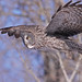 Great Gray Owl... #31