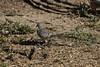 Peaceful Dove ~ Geopelia placida ~ Mount Molloy School (Rowettia) Tags: birds australia queensland peacefuldove geopeliaplacida mountmolloy