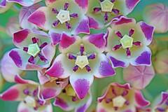 Flores de Caribe (xeno(x)) Tags: flowers macro nature canon cuba santiagodecuba caribe xeno 2013 siboney 5d3