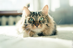 cat lying on bed (Lerenka) Tags: pet cute home beautiful animals cat hair fur mammal grey paw eyes furry friend kitten feline funny looking fuzzy head expression adorable kitty fluffy sofa domestic whisker veterinarian lying pussycat muzzle lovable purebred purebredcat