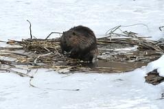 _DSC0091 (Putneypics) Tags: winter ice vermont beaver thaw castor castorcanadensis beaverpond putneypics