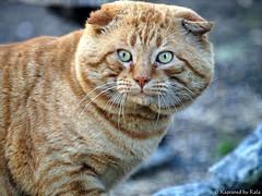 Catzilla (Kaptured by Kala) Tags: nature cat giant big large ugly huge mean predator kala feral catzilla buttugly battlescarred kalaking kapturedbykala