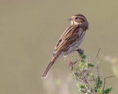 Bunting-2 (Andrew Haynes Wildlife Images) Tags: