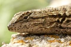 Western Fence Lizard Portrait (Insidiator) Tags: portrait macro nature animal closeup lizard cinderblock vertebrate fencelizard westernfencelizard vision:mountain=058 vision:sky=0518 vision:outdoor=0851