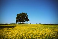 Dreaming of summer (*Kicki*) Tags: summer tree nature field yellow rural skåne sweden explore raps rapeseed rapefield flickrexplore explored rapsfält