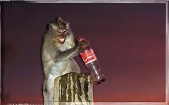 Macaque monkey drinking cola, (Berwin3) Tags: sunset bali photoshop temple humorous cola january drinking amusing ubud 2014 macaquemonkey canon60d smilingmonkey