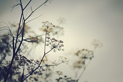 ~ There will be tomorrow ~ (Flick Vlooi) Tags: sky hope moody dof cloudy bokeh atmosphere dry seeds heads dried tomorrow fennel 58mm herb helios 442 greenscene