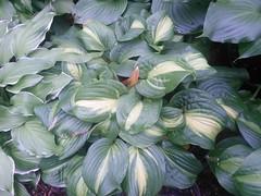 IMG_20140529_133559 (moccasinlanding) Tags: sugarandcream holymole irishluck emeraldcharger
