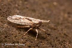 Leaf-hopper.jpg (Jordan de Jong) Tags: nature fauna insect flickr wildlife australia nsw newsouthwales leafhopper invertebrate hemiptera minibeast mtneville