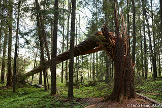 Fallen tree in the Siikaneva