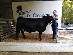 "Res. Grand Champion Heifer 4H Menard Co Fair '12 • <a style=""font-size:0.8em;"" href=""http://www.flickr.com/photos/25423792@N05/14457669413/"" target=""_blank"">View on Flickr</a>"