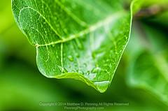 Green Drop (MattPenning) Tags: macro green nature water droplets leaf drops pentax potd waterdrops k5 springfieldillinois mattpenning veining kmount mattpenningcom penningphotography justpentax pentaxk5 pentaxsmcpentaxdfa100mmf28macrowr