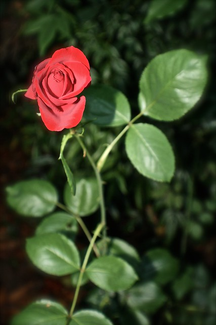 A Single Beautiful Red Rose