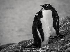 Pareja (Ignacio Ferre) Tags: bw bird penguin antarctica ave pjaro pingino antrtida gentoopenguin pygoscelispapua pinginopapa pinginojuanito
