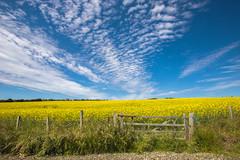 Rapeseed Fields Isle of Man (Heathcliffe2) Tags: barley farm farming crop kale isleofman rapeseed keristal