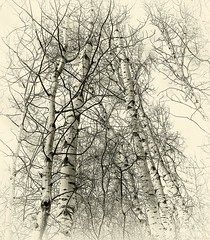 Autumn Birch (evanffitzer) Tags: birch fall autumn fujifilmx100s trees vignette bw blackandwhite sepia mono branches trunks graphics evanfitzer evanffitzer outdoors