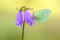 Diamonds of Nature 2... (Zbyszek Walkiewicz) Tags: sony closeup butterflies butterfly