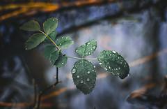 Rain drops (Caucas') Tags: sinop rain drops yamur damla green nature doa trkiye karadeniz blacksea d7000 85mm18g 85mm nikon trkei blue yaprak lake trees forest travelling 35mm 35mmf18g dof bokeh follage outdoor serene leaf erfelek drop yeil