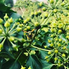 Avispa entre la hiedra en flor
