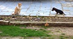 Pipa y el gato. (bego vega) Tags: pipa piparra perro dog mascota pet puppy cat gato animal madrid fuenteelsaz huerta huerto bego vega bv