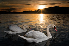 Swans and sunset (elcynico) Tags: swan lake sunset trip travel comabbio corgeno vergiate varese italy water sky colors flash strobe nikon d750 sigma art mood incompletestrobistinfo removedfromstrobistpool seerule2