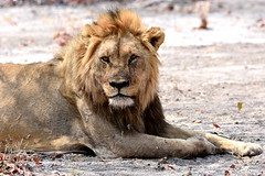 Battle scarred. (pstone646) Tags: lion animal wildlife fauna closeup africa namibia mammal